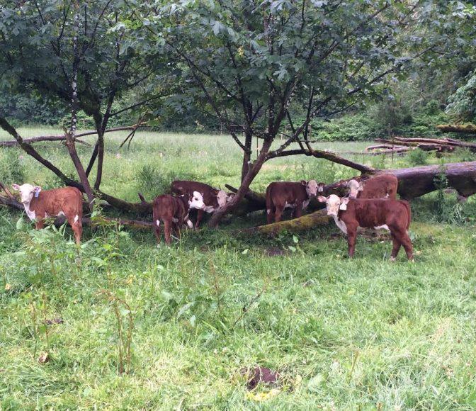 Cows at OPN Member Nehalem River Ranch