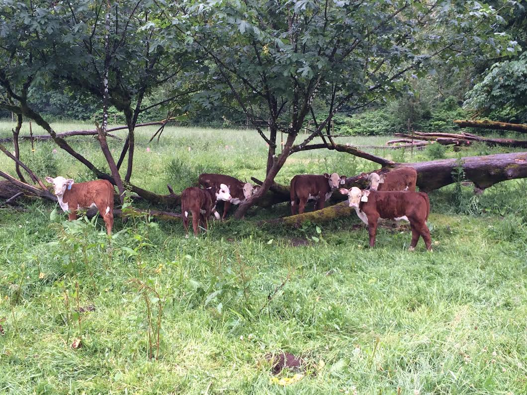 Cows at OPN Member Nehalem River Ranch
